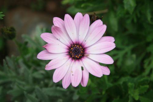 Pretty Pink Daisy