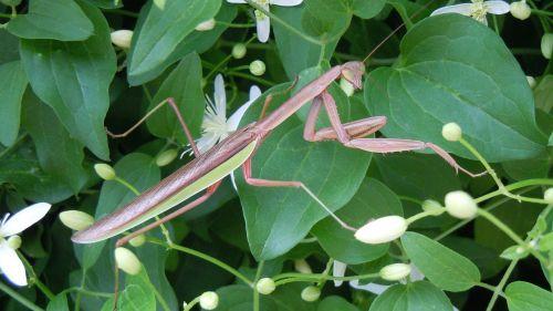 praying mantis eyes greenery