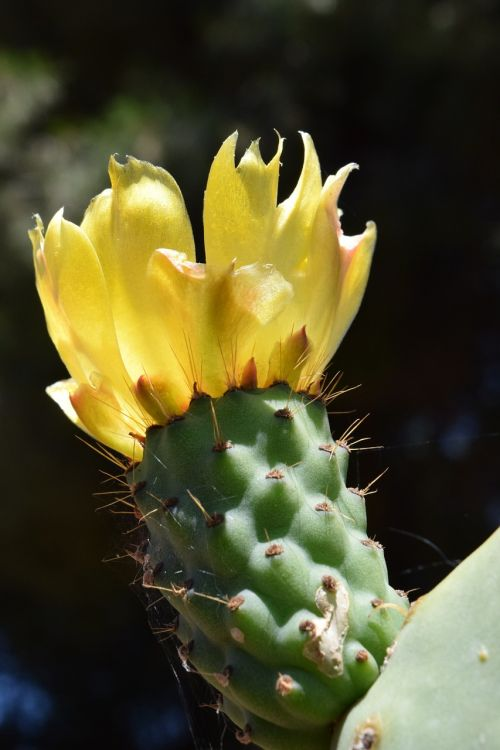 prickly pear blossom bloom