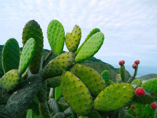 prickly pear opuntia succulent