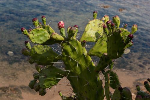 prickly pear plant succulent plant