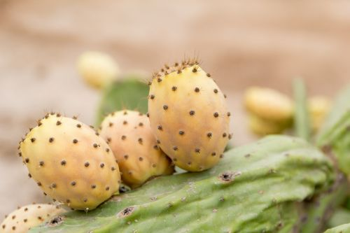 prickly pear sweet thorns