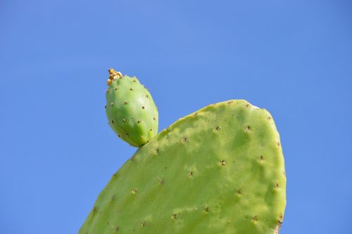 prickly pear chumbo fruit
