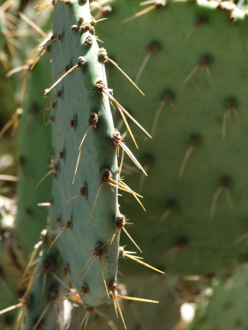 prickly pear cactus southwest