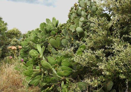 prickly pear  plant  cactus