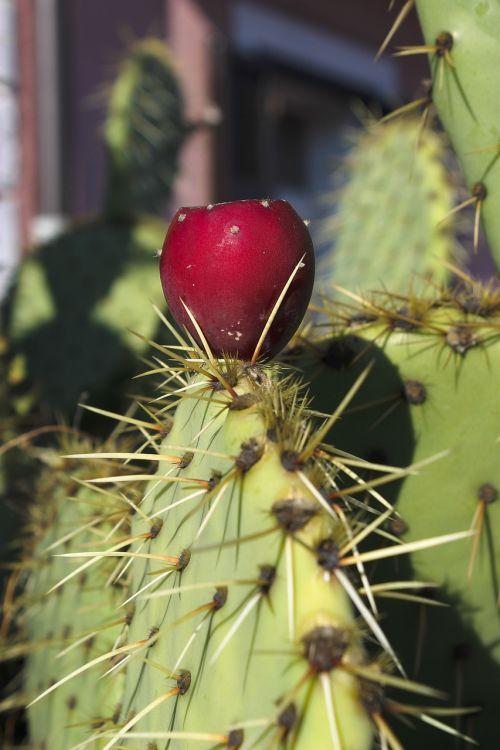 dygliuotas kriaušes,kaktusas,kaktusas šiltnamius,raudona,šerti,vaisiai