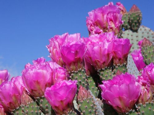 prickly pear flower succulent plant