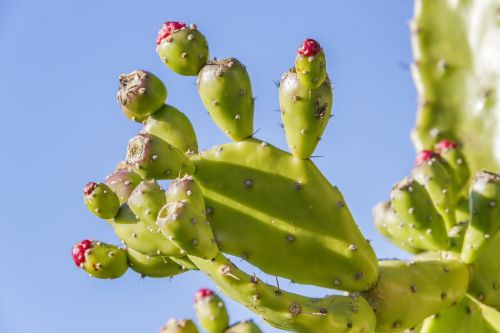 prickly pear opuntia fruit