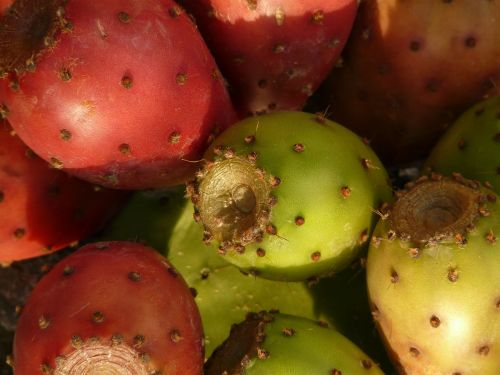 dygliuotas kriaušes,kaktusas,figos,vaisiai,raudona,valgomieji,augalas,opuntia,kaktusas šiltnamius,kaktusai