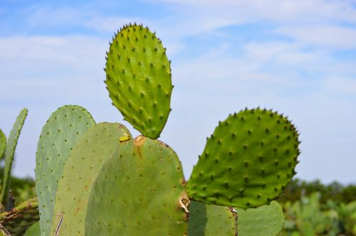 prickly pear cactus cactus skewers