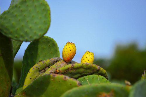 prickly pears fruit prickly pear