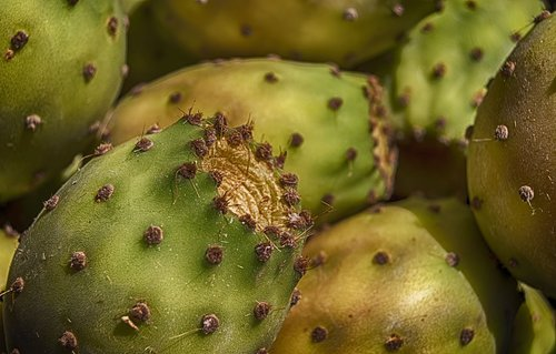 prickly pears  prickly pear  fruit