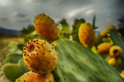prickly pears  prickly pear  prickly pear cactus