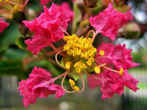 Pride Of India Blossom