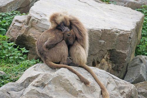 primates dscheladas pair