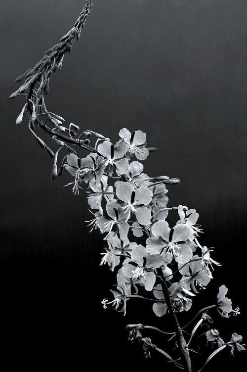 primrose flower black and white