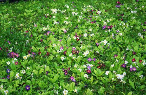 primrose meadow grass