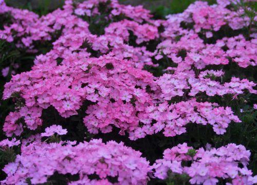 primrose flowers pink