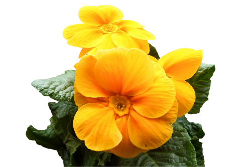 primrose yellow flowers