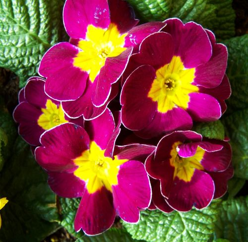 primrose spring flower bishop's purple
