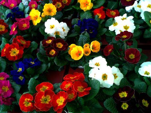 primrose cowslip color