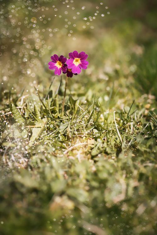 primrose auricula alpine auricula