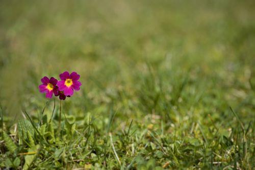 primrose flower pointed flower