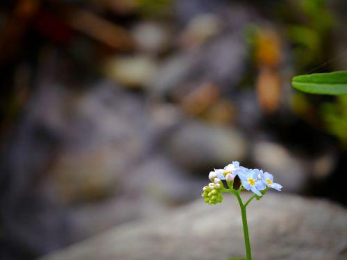 primrose alpine flower