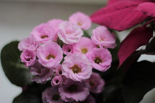 primrose flowers plant