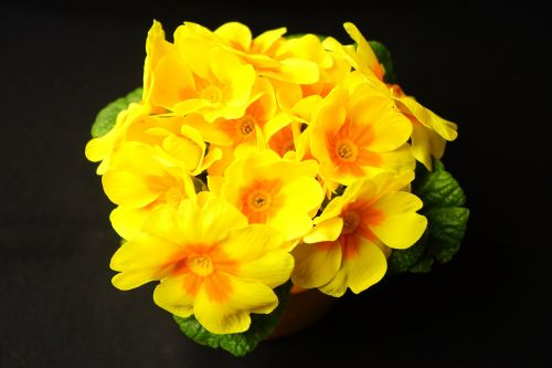 primrose primula blossom