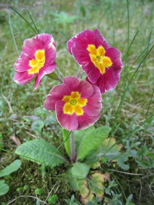 primrose flower cowslip