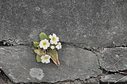 primrose white wall