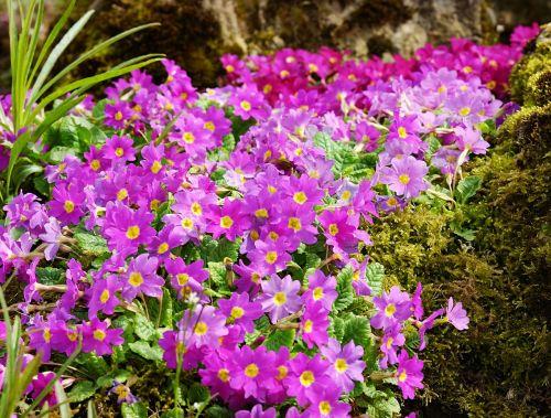 primrose carpet primrose flowers