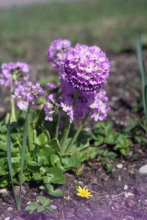 primrose  drumstick  flower
