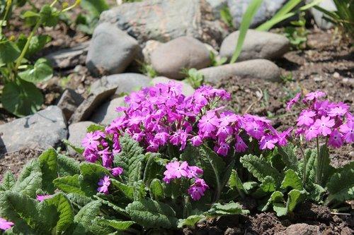 primrose  flowers  spring