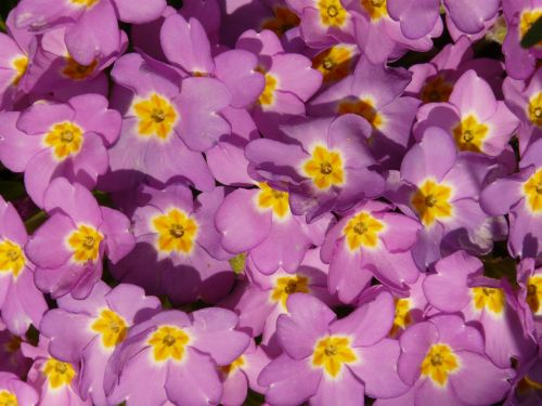 primrose cowslip plant