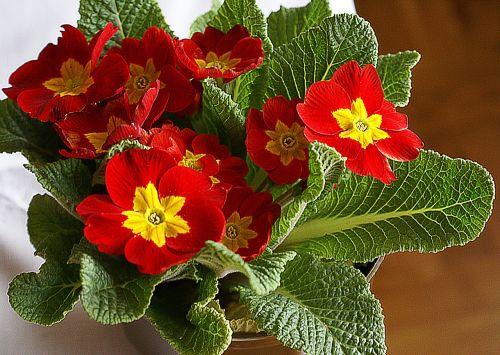 primrose flower rozkwitnięty