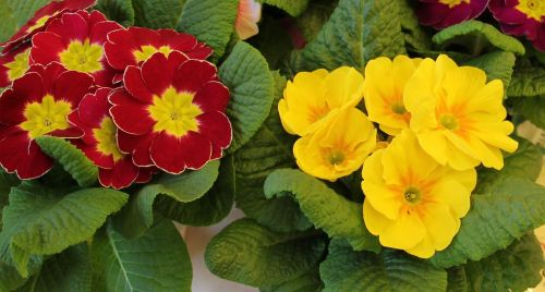 primrose pots signs of spring early bloomer