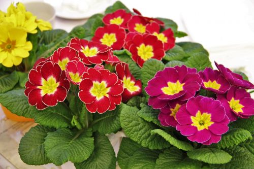 primrose pots signs of spring colorful