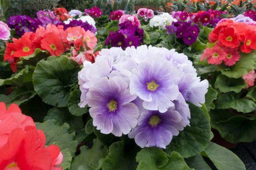 primroses primula vulgaris hybrid violet