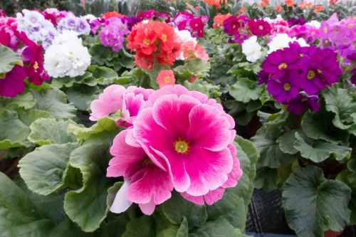 primroses primula vulgaris hybrid pink