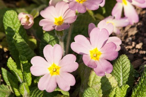 primroses primula vulgaris hybrid purple