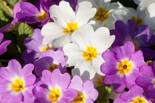primroses primula vulgaris hybrid magenta