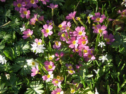 primroses flowers plant