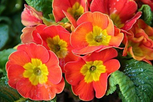 primroses  primula  spring