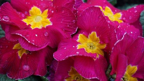primroses  spring flowers  drop of water