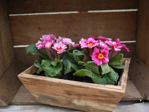 primroses flower-box spring