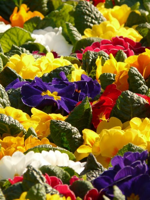 primroses cowslip colorful