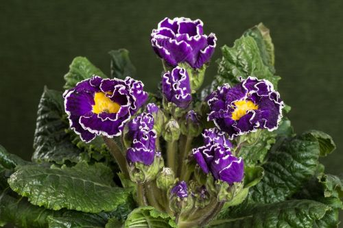 primroses macro violet