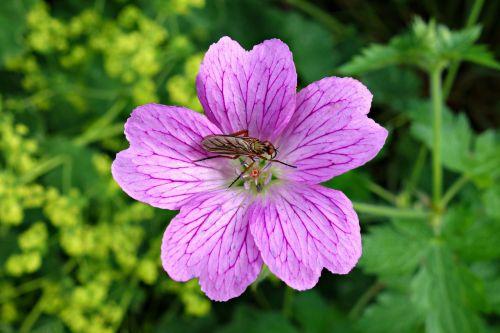 bloody geranium geranium sanguineum flower
